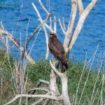 Aguilucho, Birding Extremadura